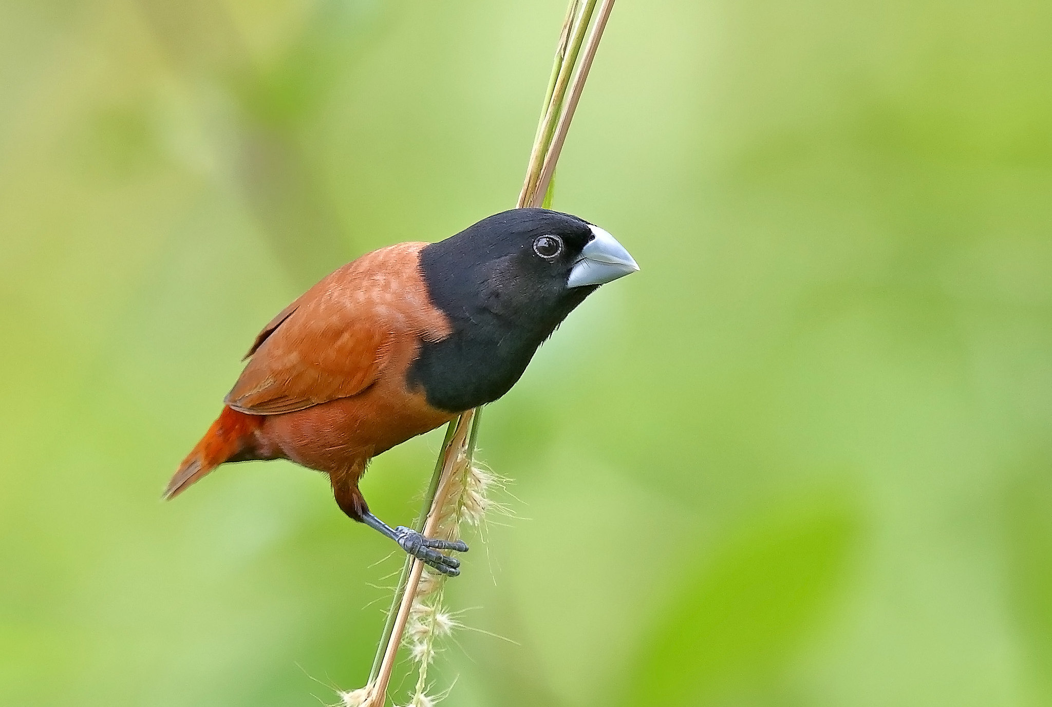 Chestnut-Munia